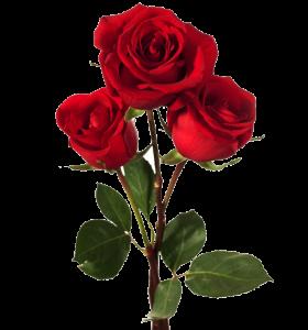 rosas rojas para la mujer