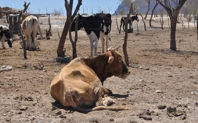 Cómo mantener en buen estado al ganado durante la sequía