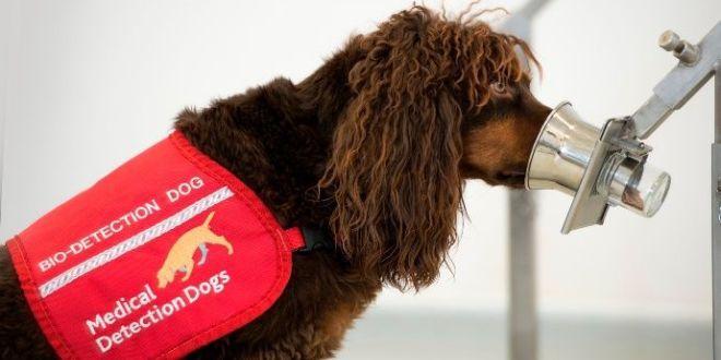 Investigadores británicos entrenan perros para detectar Covid19