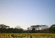 ¿Sembrarán más girasoles en Montería? Conoce todo sobre estos cultivos