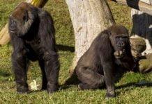 Reportan los primeros casos de Covid19 en gorilas