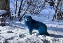 ¿Por qué hay perros azules en Rusia?